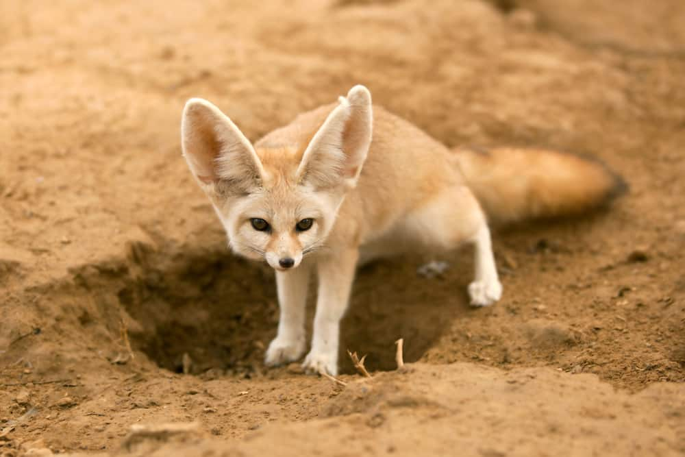 facts-about-Algeria-fennec-fox