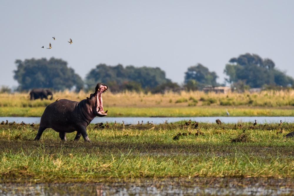 A hippopotamus in Botswana