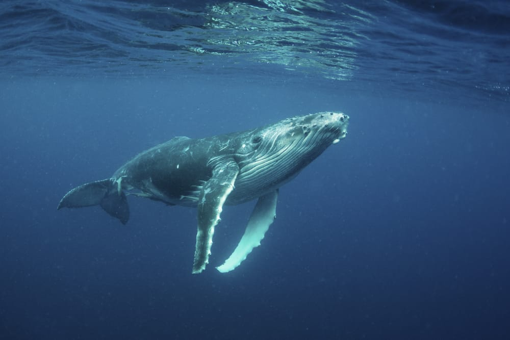 Interesting facts about Tonga include its visiting humpback whales