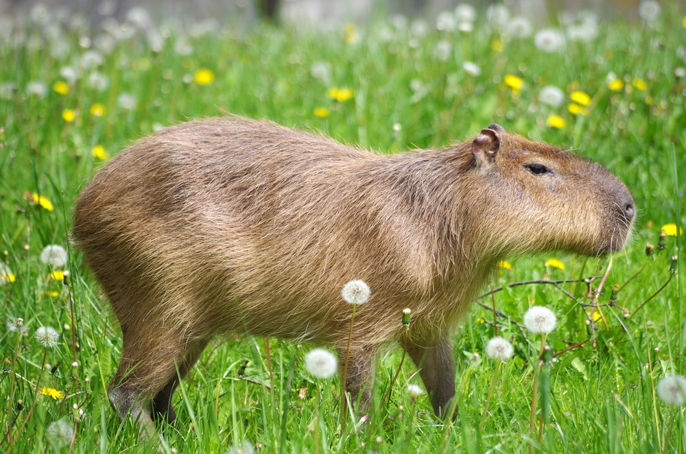 The world's largest rodent, the capybara