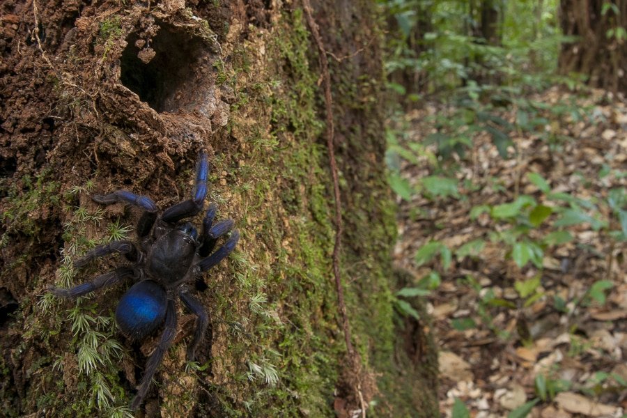 The blue tarantula discovered in 2017