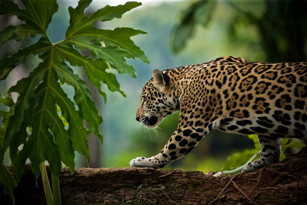 A jaguar in Belize
