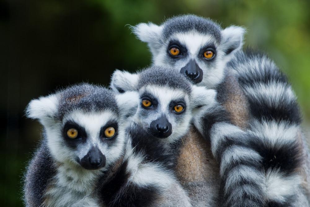 Lemurs in Madagascar