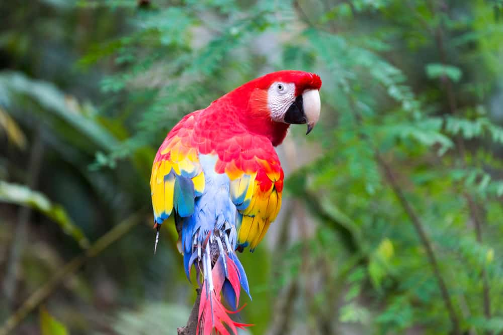 The national bird of Honduras is the scarlet macaw