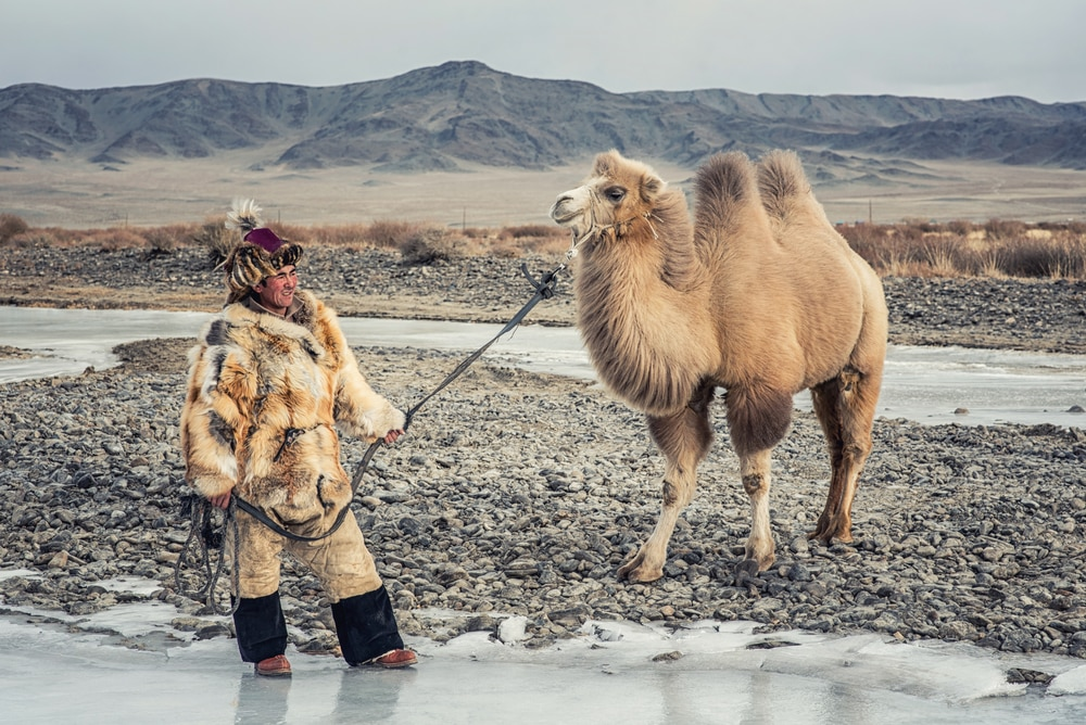 The two-humped Bactrian camel