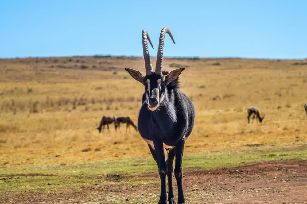 The giant sable antelope