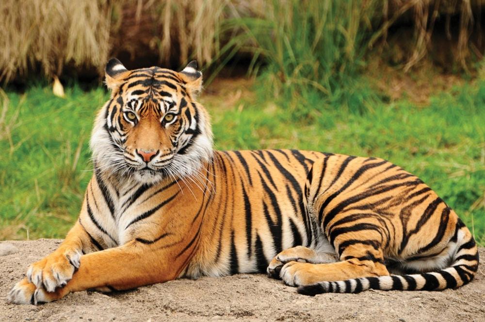 The Bengal Tiger of Bangladesh