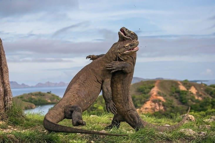 two Komodo dragons fight