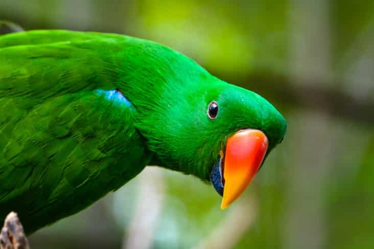 A parrot in the Solomon Islands
