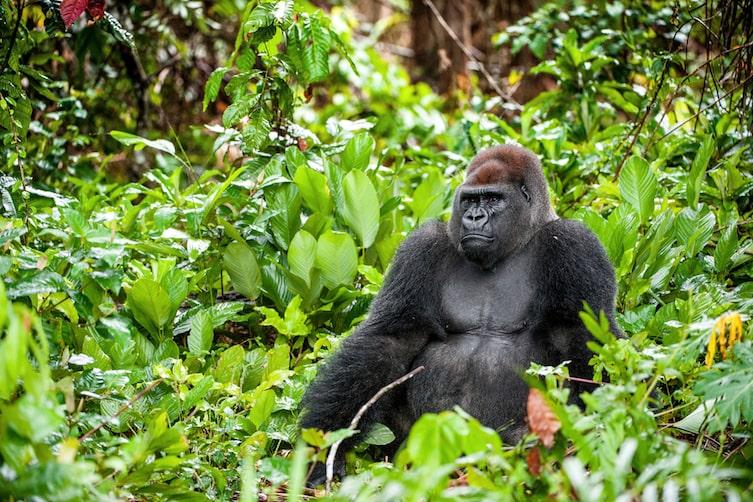 A gorilla in the rainforest