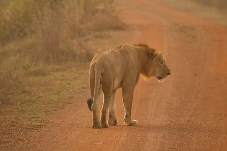 A lion in Pendjari National Park in Benin