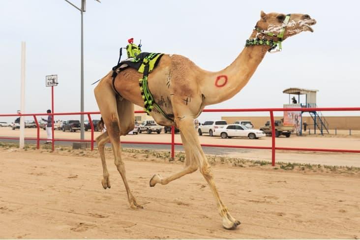 A remote control camel jockey