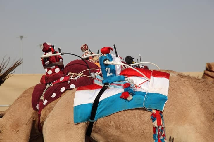 Remote control camel racing in Qatar