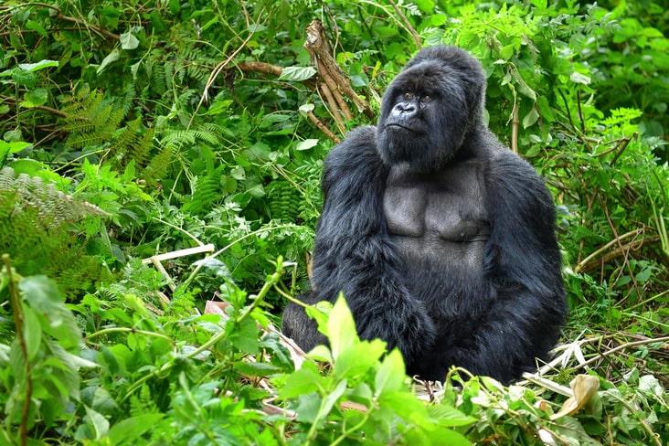A gorilla in the Congolese Rainforest