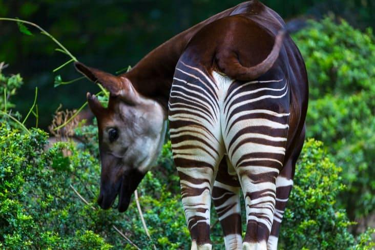An okapi in the Democratic Republic of Congo
