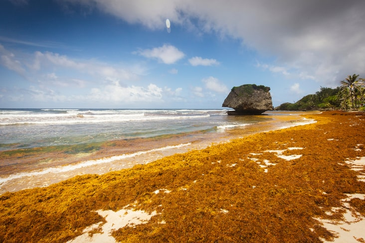 A beach covered with sargassum seaweed