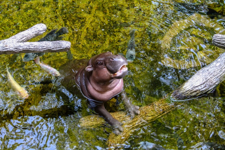 A pygmy hippo in Liberia