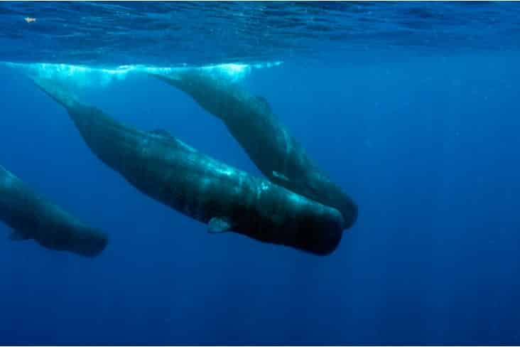 Sperm whales in Dominica