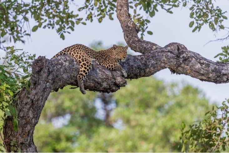 A leopard in Zambia