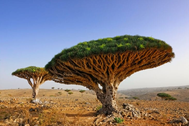 A dragon's blood tree on Socotra