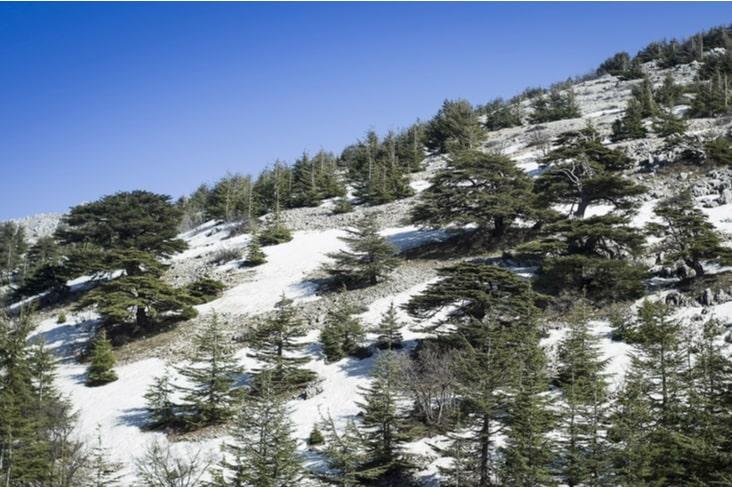 Cedar trees on the slopes of Mount Lebanon