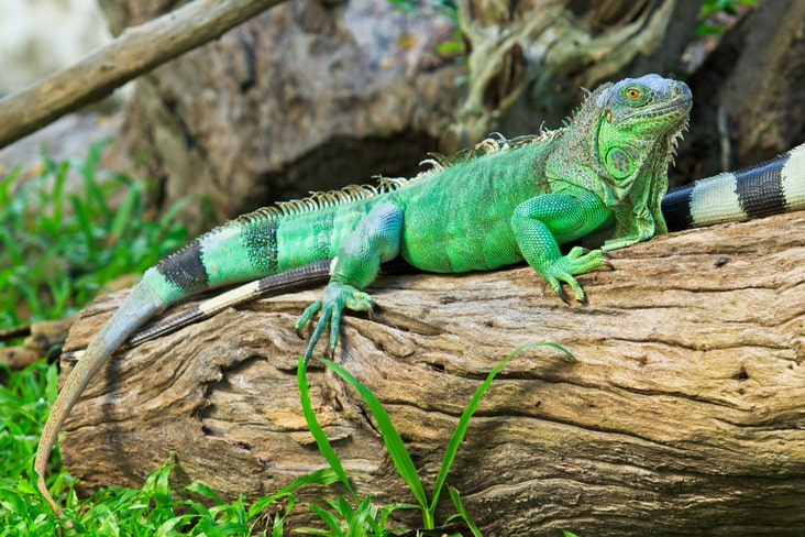 Green iguanas can be found in Saint Lucia