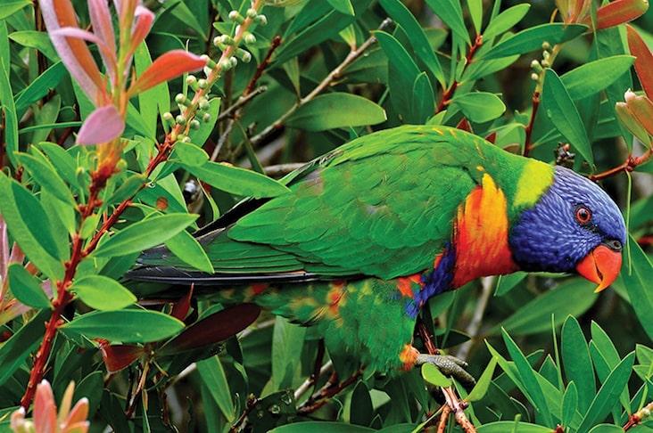 The Saint Lucia Parrot