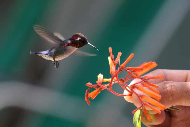 A bee hummingbird next to a flower held by someone