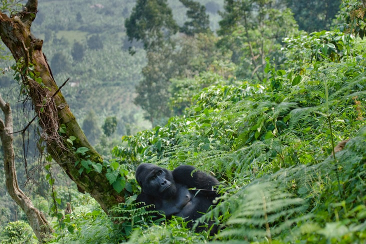 A gorilla in the Bwindi Impenetrable National Park