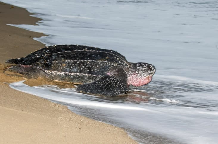 A leatherback turtle on a beach in Trinidad and Tobago