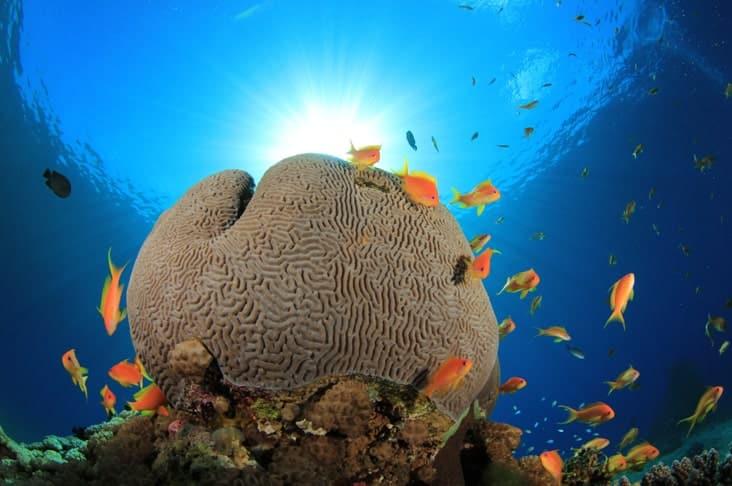 A brain coral