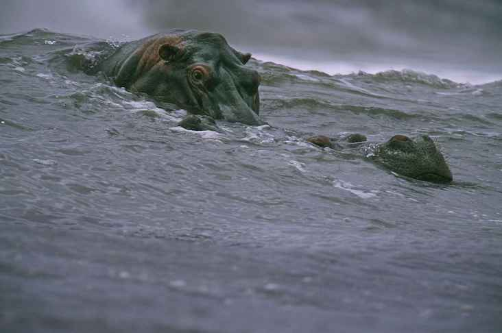 """The famous photograph of """"surfing hippos"""""""