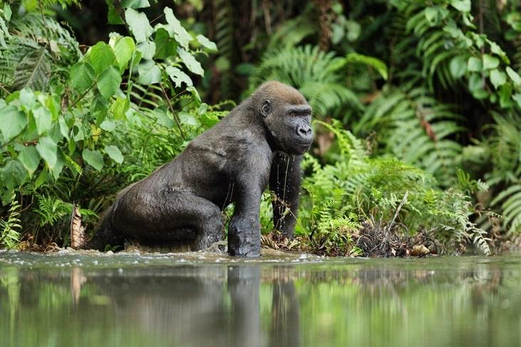 A western lowland gorilla in Gabon