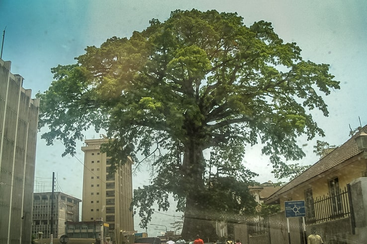 Freetown's famous cotton tree