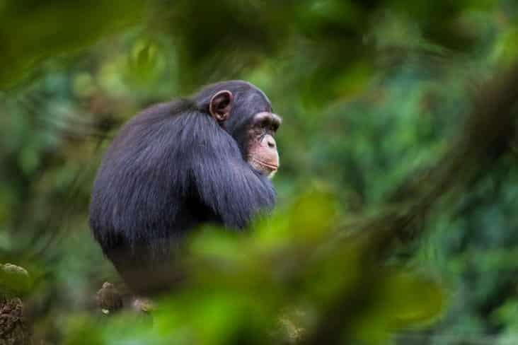 A Chimpanzee in Sierra Leone