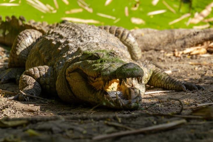 A crocodile at  Kachikally Crocodile Pool