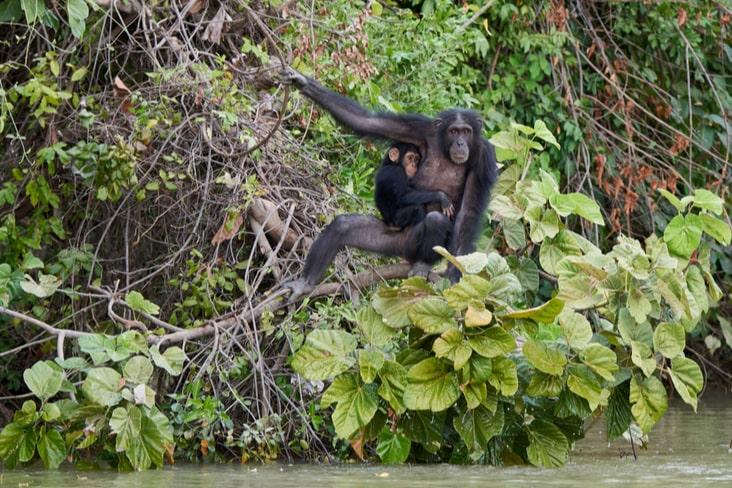 Chimpanzees on Baboon Island