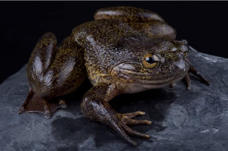 A goliath frog