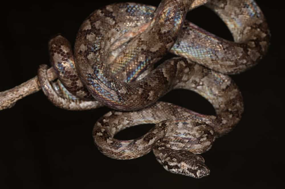The boa snake against a black background
