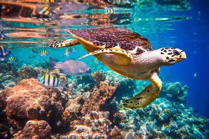 A Hawksbill Turtle underwater